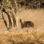 How about a tiger hunting trip to Bandhavgarh?