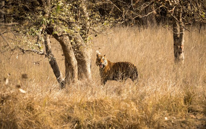 Hunting tigers with a camera in Bandhavgarh